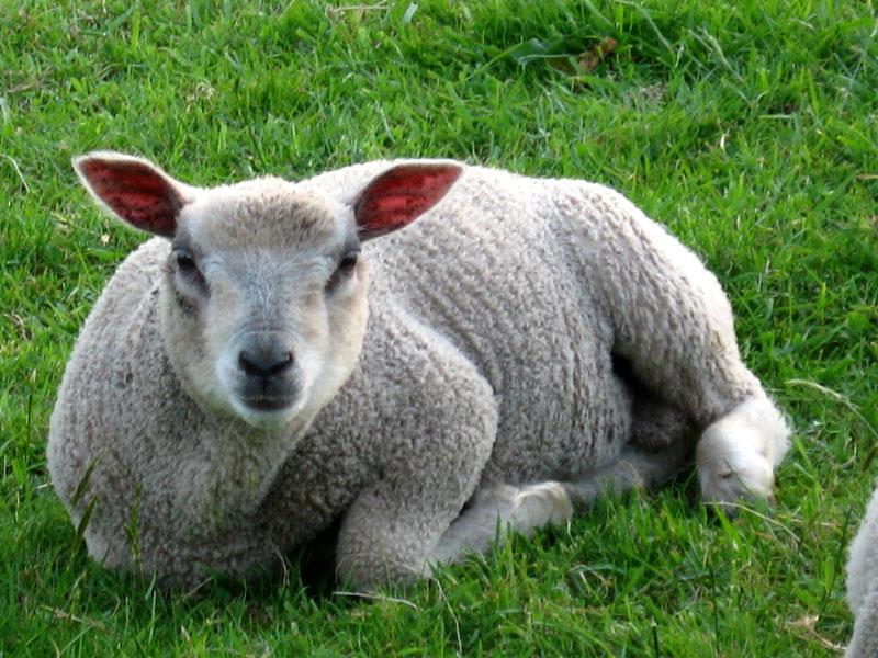 Dañvad = Mouton Agneau-allonge-tete--0157