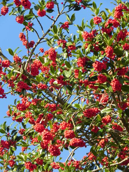 Houx / Kelenn / Holly / Ilex aquifolium Tre9768